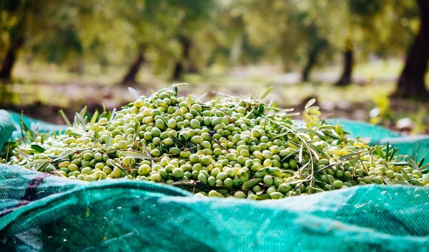 img olive-01 - Frantoi Saalga