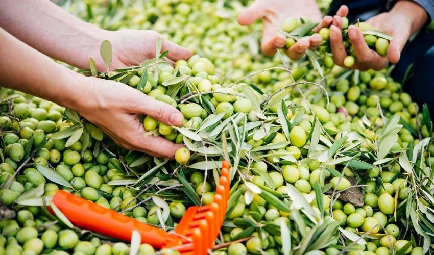 img olive raccolte-1 - Frantoi Saalga.jpg