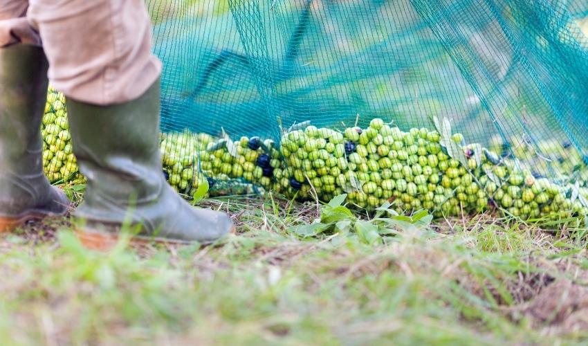 img olive raccolte-2 - Frantoi Saalga.jpg